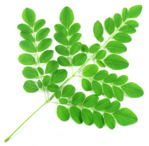 photodune-3075719-edible-moringa-leaves-m