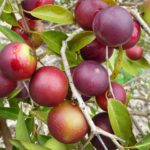 Camu Camu: Nature's Powerful Vitamin C from the Amazon Rainforest